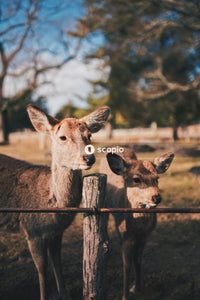 Brown deer standing on brown wooden fence