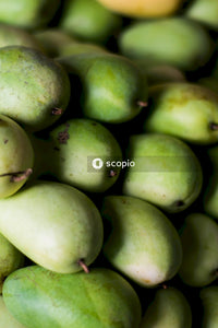 Pile of unripe mangoes