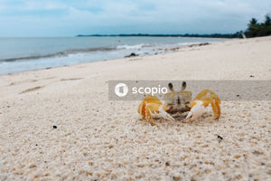 Brown crab on white sand