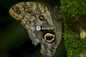 Owl butterfly on moss