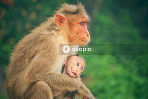 Macaque with baby sitting outdoors