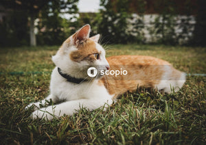White and ginger cat lying on grass