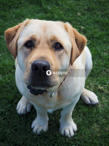 Yellow labrador retriever lying on green grass field