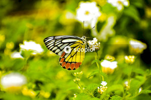 Tiger swallowtail butterfly perched on white flower