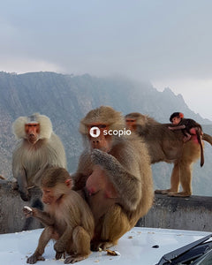 Group of baboons sitting on car with mountain landscape behind