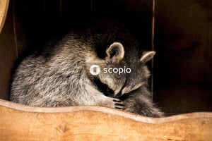Raccoon sleeping in wooden box