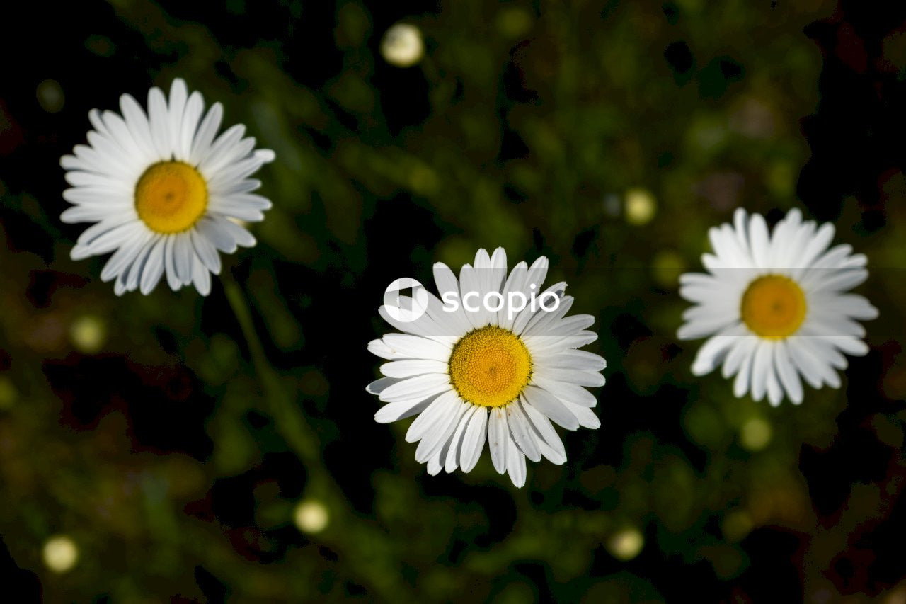 White daisy in bloom
