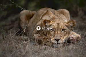Brown lioness on green grass