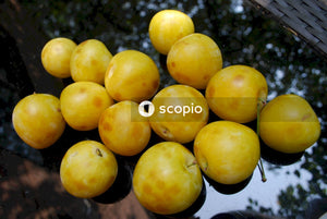 Yellow round fruits on stainless steel tray