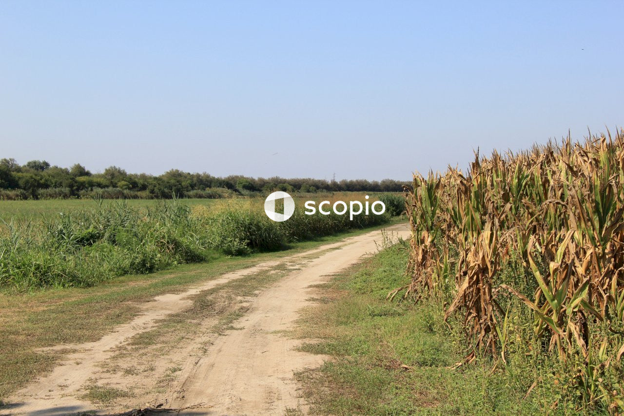 Empty road beside corn plant at daytime