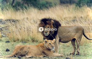 Lion and lioness on green grass field