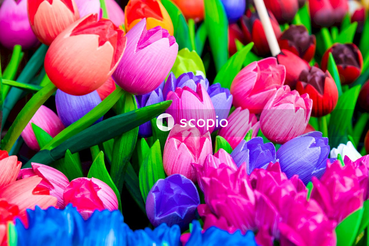 Pink blue and white tulips