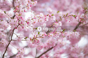 Pink cherry blossom in close up