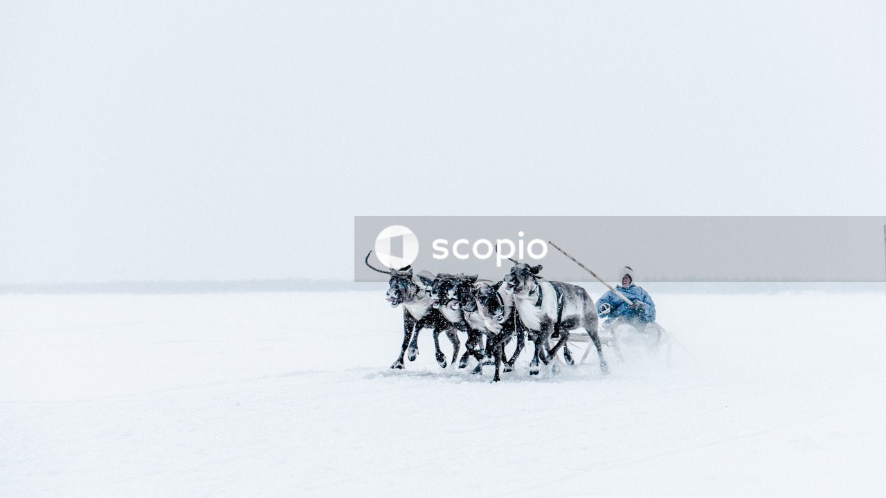Reindeer pulling a man through the snow