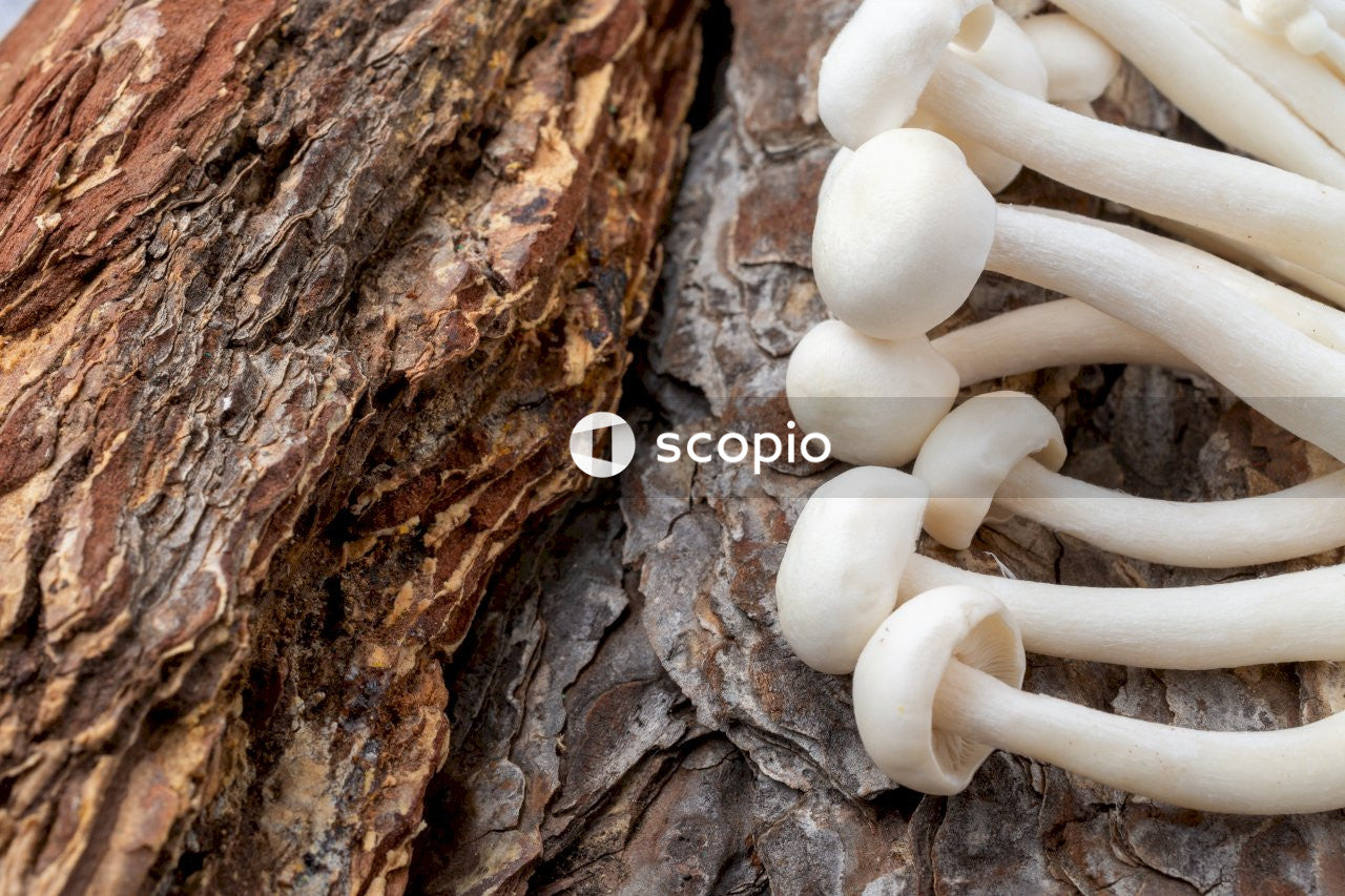 White mushrooms on brown tree trunk