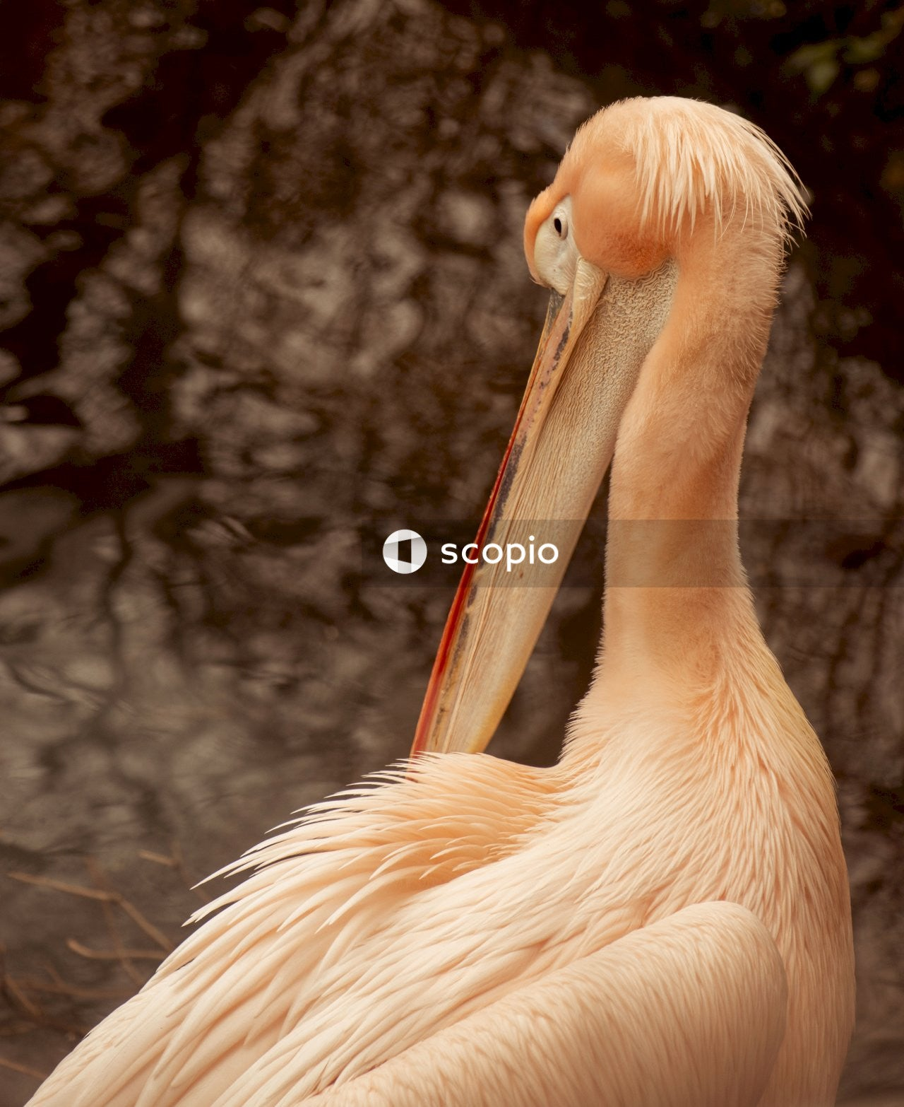 White pelican in close up