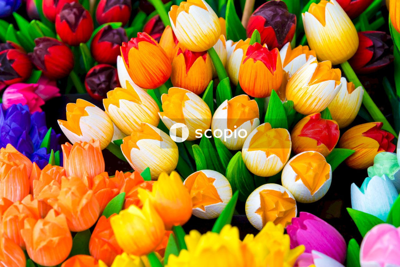 Yellow white and pink tulips