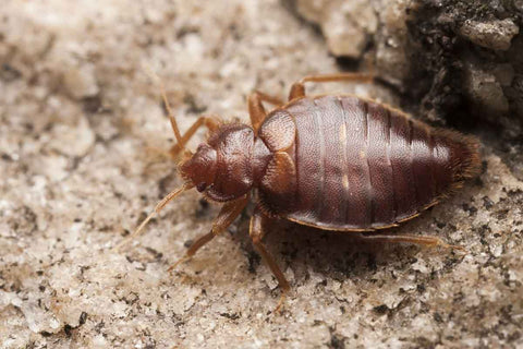 essential oils to kill bed bugs