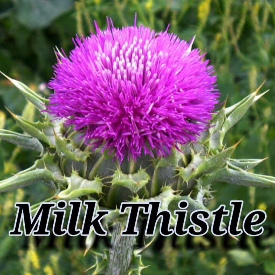 Milk Thistle 80% Sylmarin UV Extract Powder