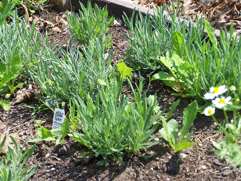 Buying Lavender Plants From Garden Centers Internet And Mail