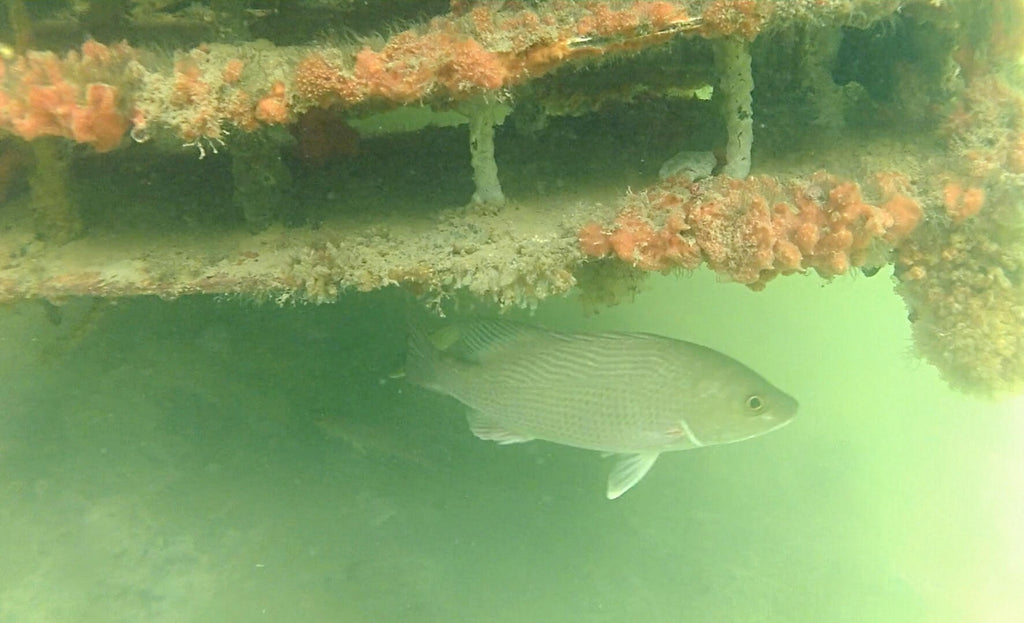 Artificial Reefs Create Habitat in Once-Barren Canals