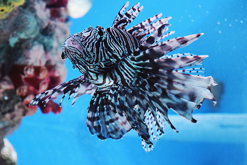 Invasive Lionfish in Local Waters