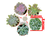 Succulents - 5 Pack of Fully Rooted Succulent Plants