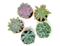 Succulent Plants Variety Pack, Fully Rooted in Planter Pots with Soil