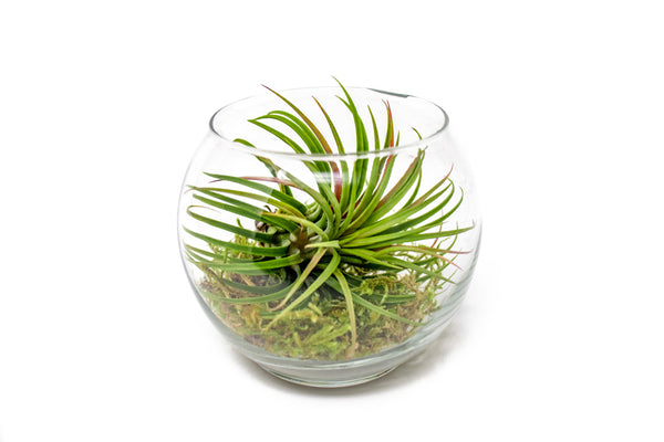Giant Ionantha Terrarium Kit (with USA-Made Glass Terrarium Bowl)