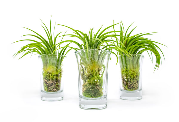 MINI Air Plant Terrarium Kit 3-Pack