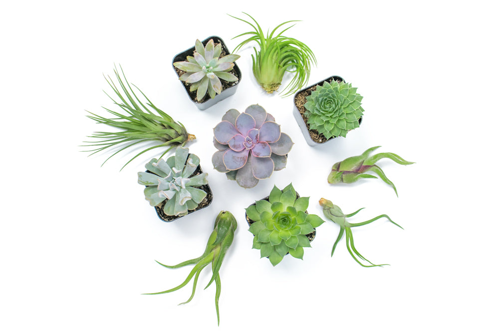 Succulent Air Plant Combo Packs