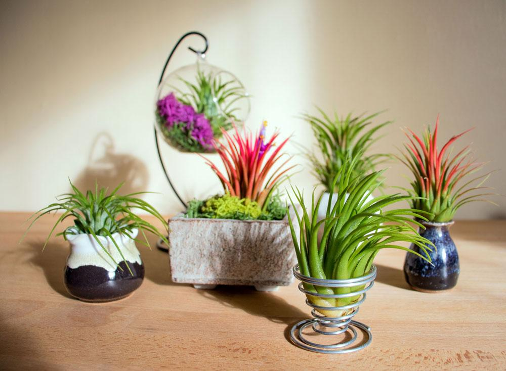 Wholesale air plants plants for pets for Cheap air plants