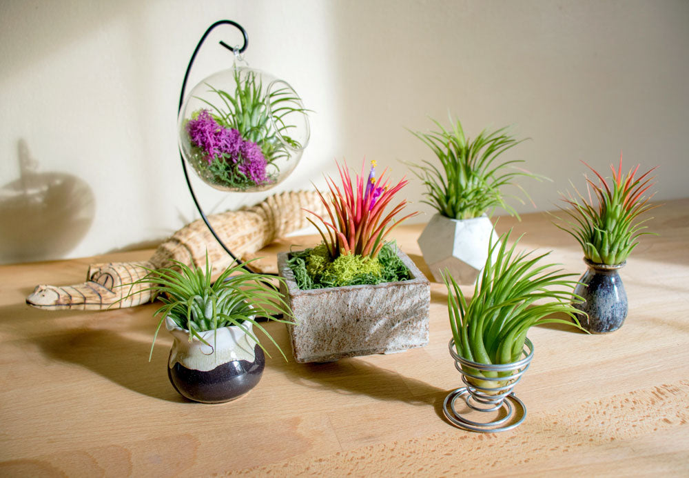 Large Ionantha Tillandsia Air Plants Plants For Pets