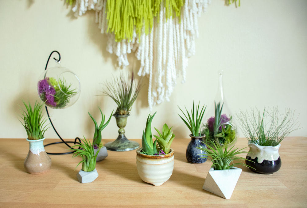 Small Tillandsia Air Plant Variety Pack Plants For Pets
