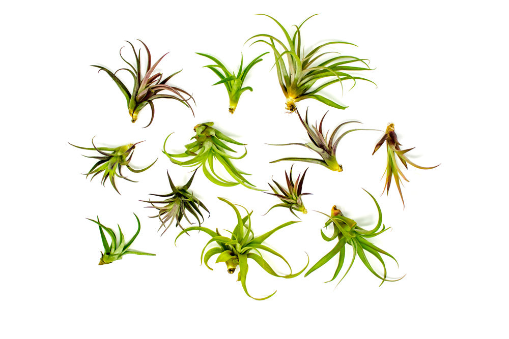 Capitata Peach Air Plants