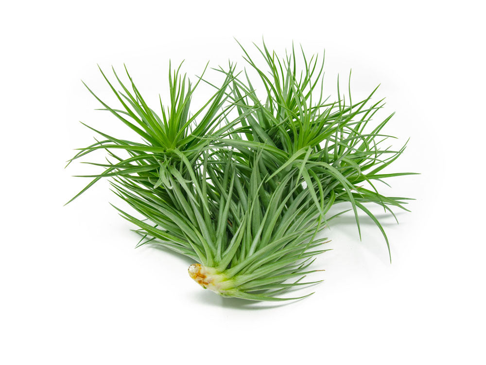 EXTRA LARGE Air Plant Packs - 6+ inches each