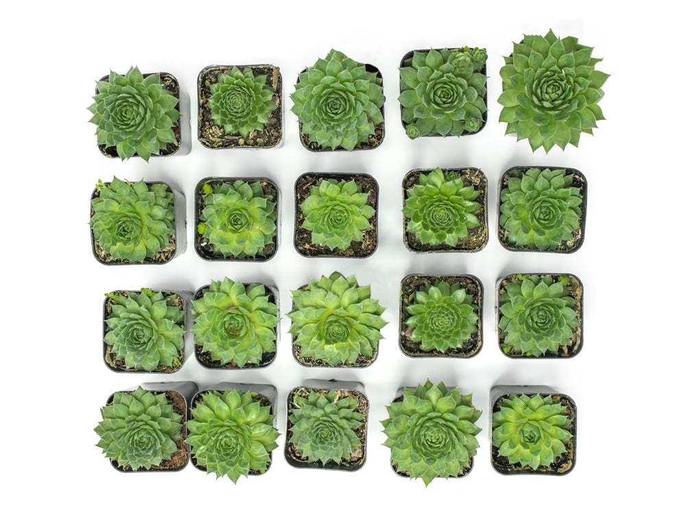 Fractal Succulent Pack, Fully Rooted in Planter Pots with Soil