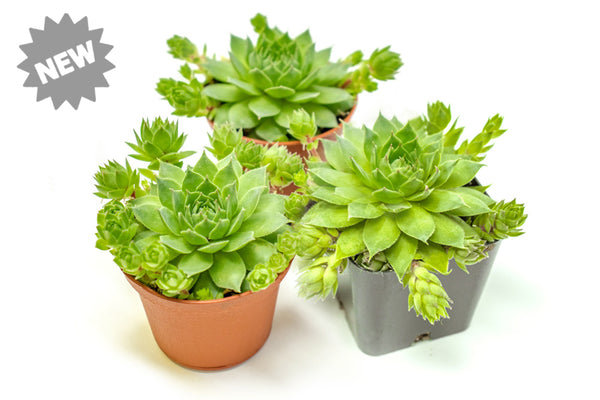 Hen and Chicks Succulents (Rooted Sempervivum Houseleeks in Pots with Pups)