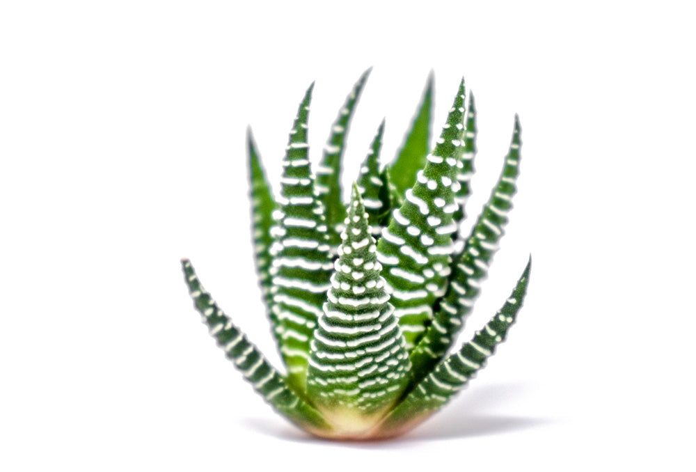 Live Haworthia Succulent Cuttings (Aloe Vera Plant Relative)
