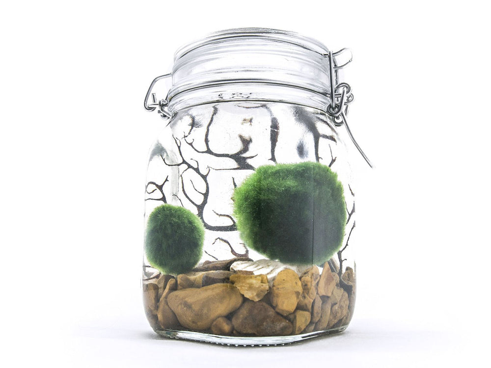 Marimo Terrarium Kits (Large and Small)