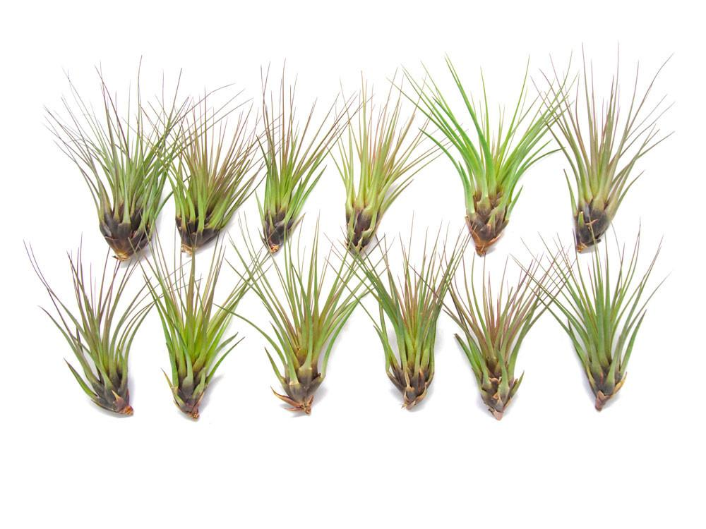 Tricolor Tillandsia Air Plants
