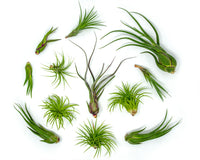 Tillandsia Air Plant