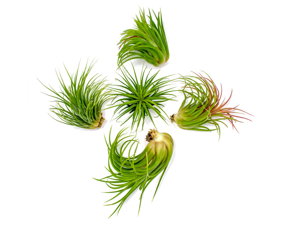 Large Ionantha Tillandsia Air Plant Pack - Each 2 to 3.5 Inches Long