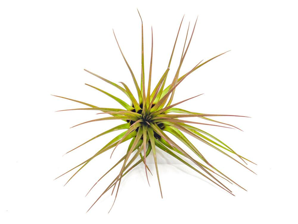 Tricolor Tillandsia Air Plant