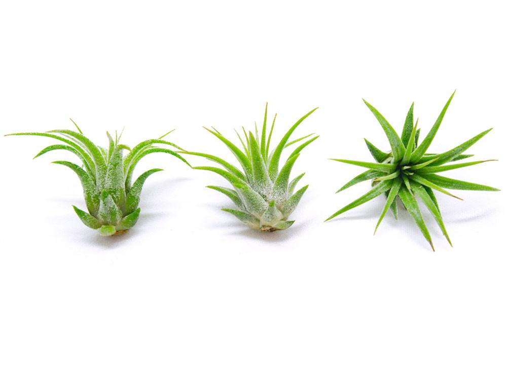 Tillandsia Ionantha Rubra Mini Air Plants