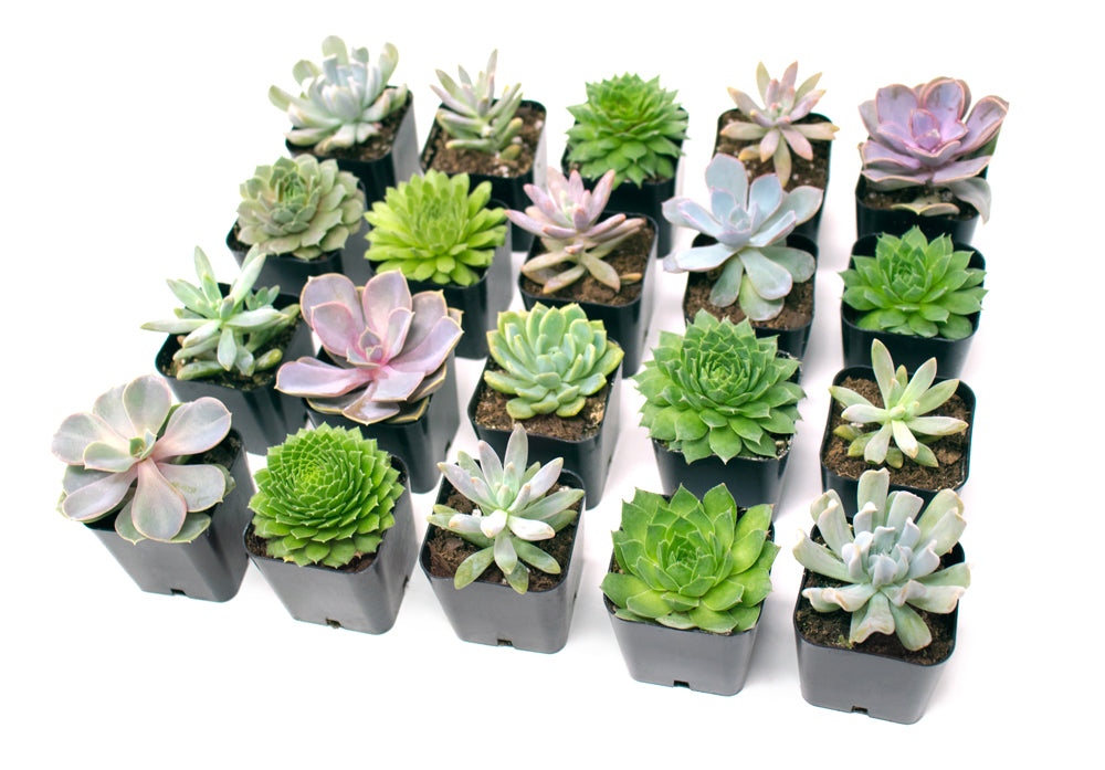 Succulents - 20 Pack of Fully Rooted Succulent Plants