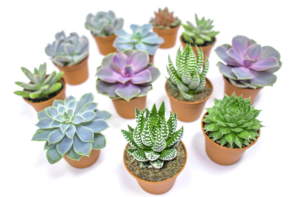 Succulents - 12 Pack of Fully Rooted Succulent Plants