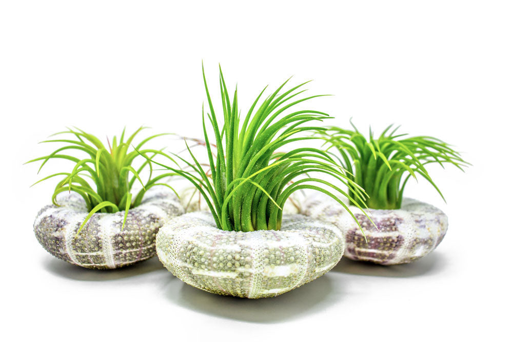 Air Plant Sea Urchin Kits - Natural Shell Containers / Holders for Live Tillandsia