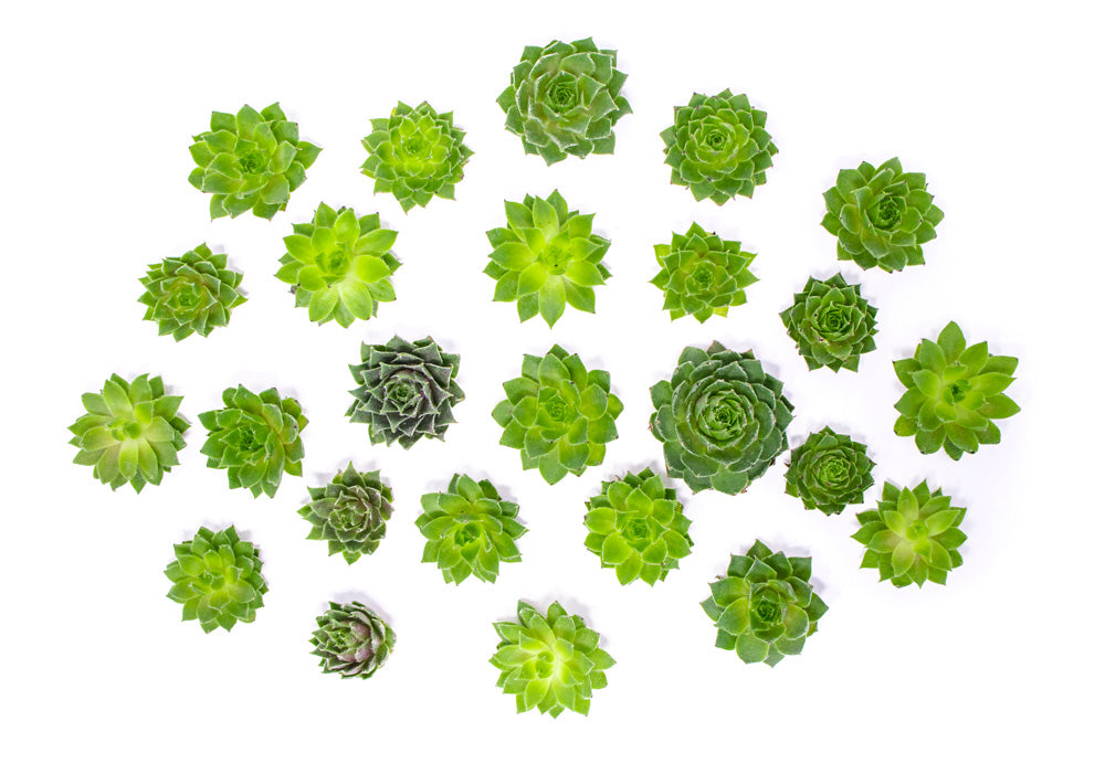 Live Sempervivum Succulent Cuttings  (Houseleek Succulents)