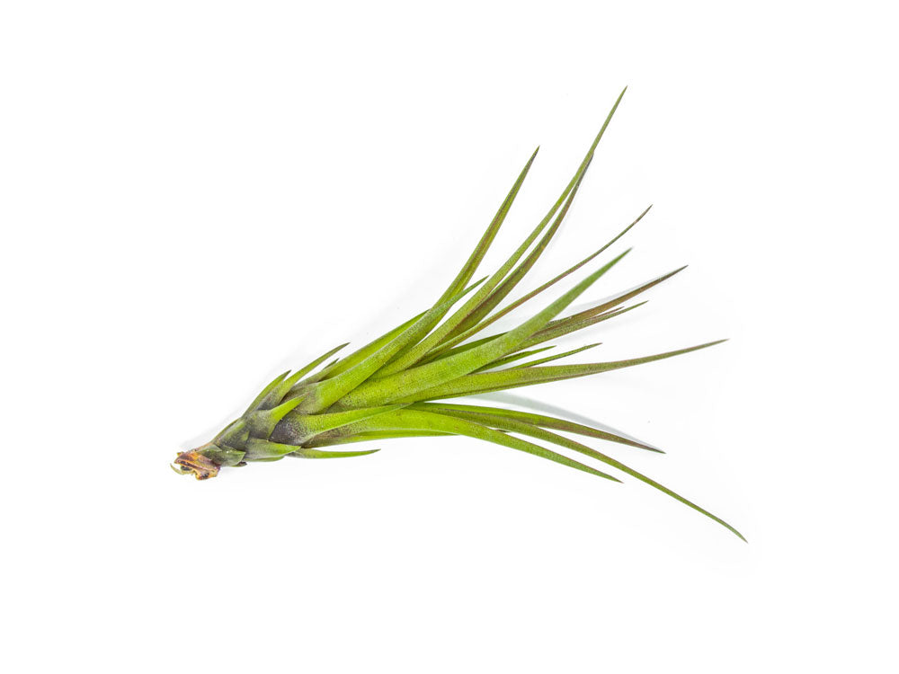 Tricolor Tillandsia Air Plant (Small)